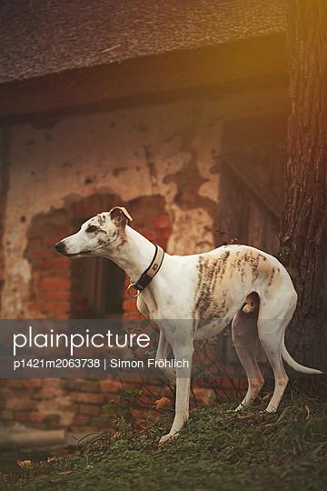 Windhund - p1421m2063738 von Simon Fröhlich