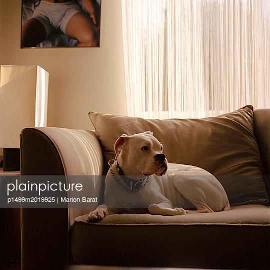 Hund auf dem Sofa - p1499m2019925 von Marion Barat