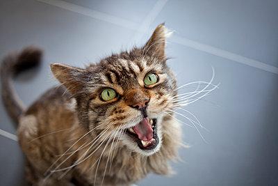 Hissing cat - p1598m2164415 by zweiff Florian Bier