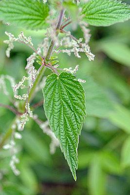 Medicinal plant - p6010188 by Alain Caste