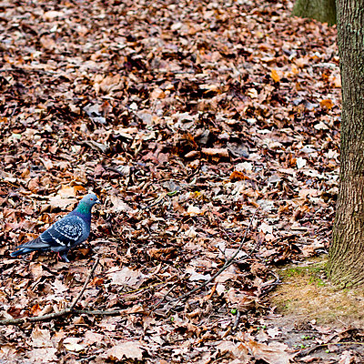 Pigeon in woods - p940m972690 by Bénédite Topuz