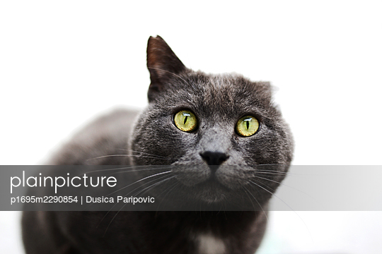 Cat with one ear - p1695m2290854 by Dusica Paripovic