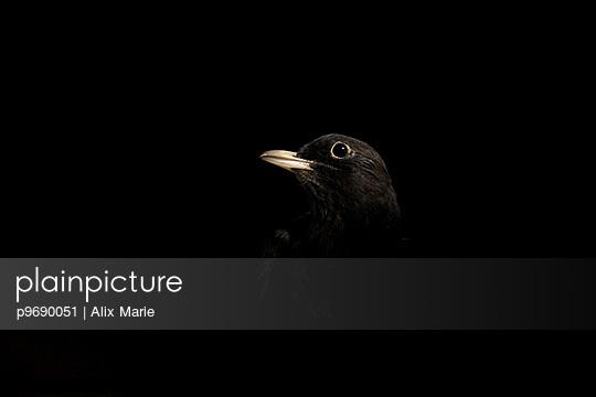 Blackbird - p9690051 by Alix Marie