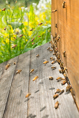 Germany, Baden-Wuerttemberg, Ueberlingen, bee swarm at bee box - p300m978829f by Holger Spiering