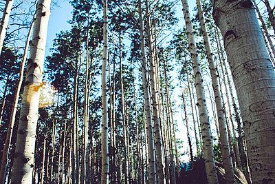 Hochgewachsene Bäume - p988m2015067 von Rachel Rebibo