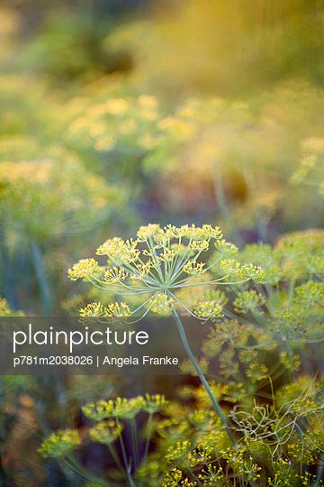 Fenchel - p781m2038026 von Angela Franke