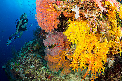 Diver along a drop off covered with gorgonian and alcyonarian coral; Fiji - p442m2003596 by Dave Fleetham