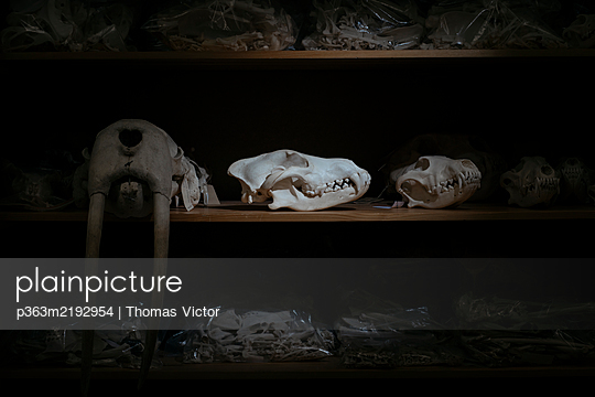 Animal skulls - p363m2192954 by Thomas Victor