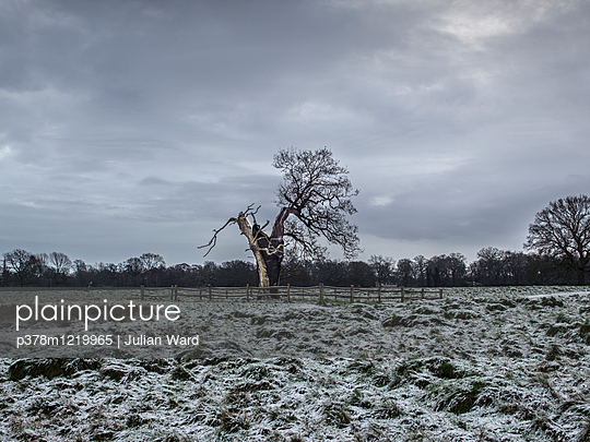 Tree struck by lightening in snow covered landscape. Bushy Park, London, England, United Kingdom