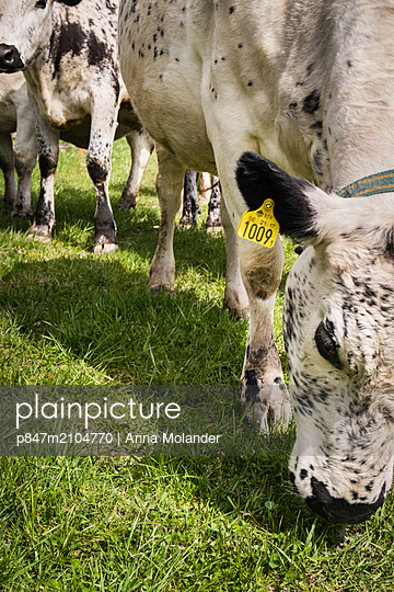 Cow With Tag Grazing On Grass   - p847m2104770 by Anna Molander