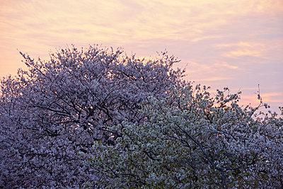 Cherry blossoms and morning sky - p307m826860f by Katsuhiro Yamanashi