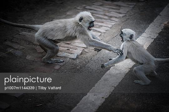 Semnopithecus entellus monkeys - p1007m1144339 by Tilby Vattard
