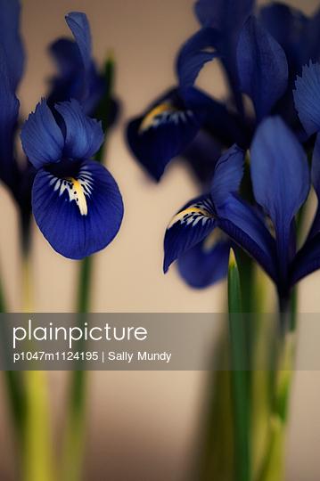 Close-up of purple iris flowers - p1047m1124195 by Sally Mundy