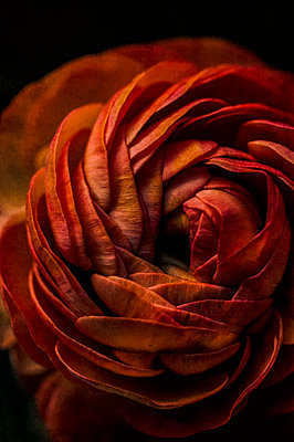 Close-up of red ranunculus flower against dark background - p1047m2259801 by Sally Mundy
