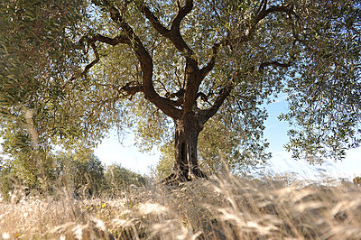 Single olive tree - p1468m1539346 by Philippe Leroux