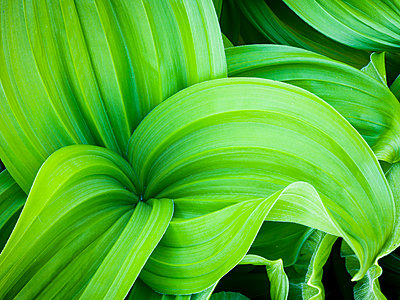 Green leaves, close-up - p312m1063214f by Stefan Isaksson