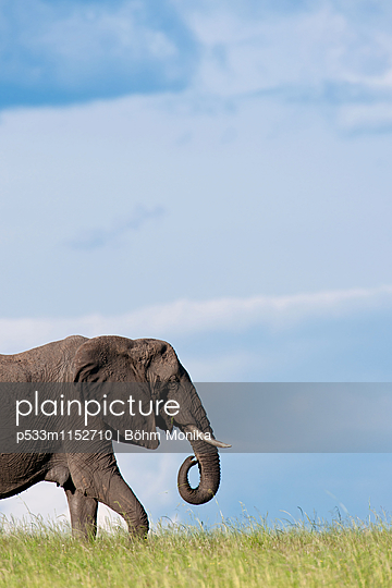 Afrikanischer Elefant - p533m1152710 von Böhm Monika