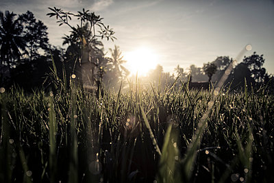 Glistening rice field at dawn, Ubud area, Bali - p934m893199 by Francis Roux photography