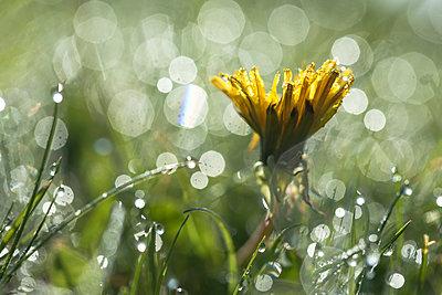 Dandelion in wet lawn with dewdrops - p1687m2284343 by Katja Kircher