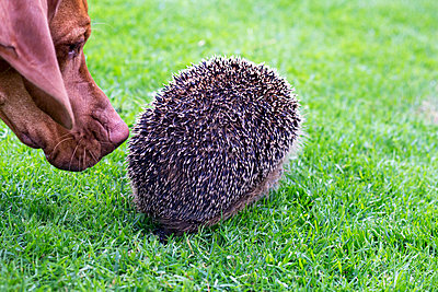 Dog and hedgehog - p739m1034149 by Baertels