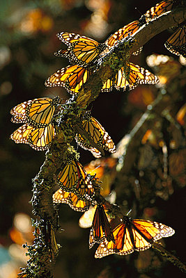 Monarch butterfly - p8844409 by Patricio Robles Gil/ Sierra Madre