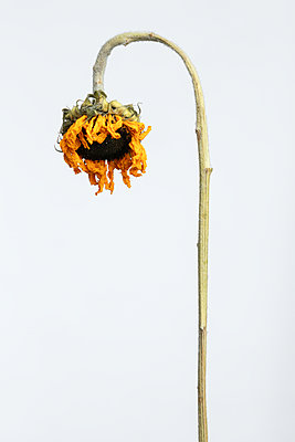 Withered sunflower against white background - p919m2195632 by Beowulf Sheehan