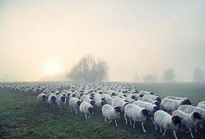 Schafe auf dem Heimweg - p992m1510774 von Carmen Spitznagel
