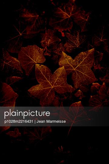 Ivy (Hedera helix) - p1028m2216431 by Jean Marmeisse