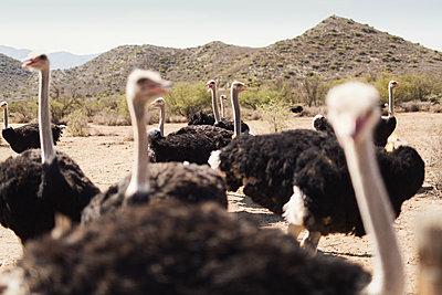 Flock of ostriches - p1477m1586429 by rainandsalt