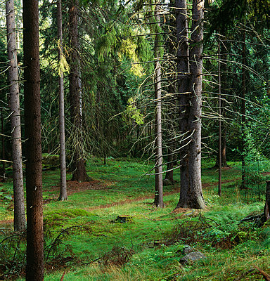 Tall trees in forest - p5751335f by Kenneth Bengtsson
