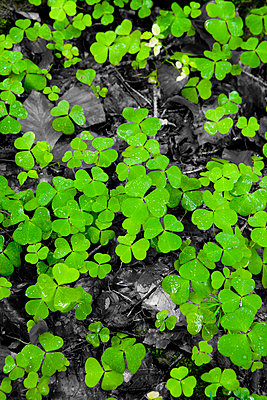 Oxalis - p248m739464 by BY