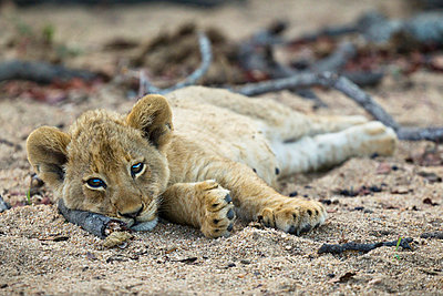 A lone lion cub lying in the dirt, looking at camera - p30120320f by Sean Russell