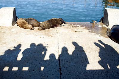 Seehunde - p619m778558 von Samira Schulz