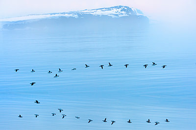 Flock of thick-billed murre flying over Hinlopen Strait, Norway - p871m2077669 by G&M Therin-Weise