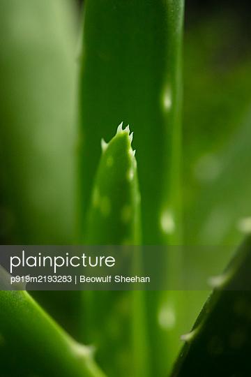 Aloe Vera, Close-up - p919m2193283 by Beowulf Sheehan