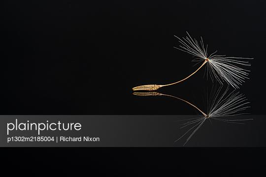 Dandelion seed on a black reflective surface - p1302m2185004 by Richard Nixon