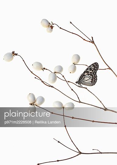 Butterfly on branch - p971m2228508 by Reilika Landen