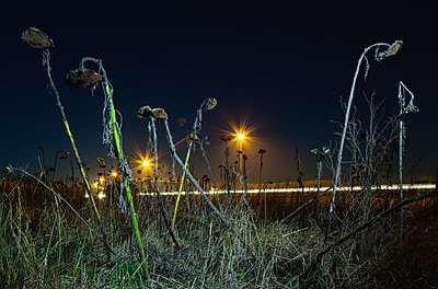 Dead sunflowers by road - p429m1029692 by Mischa Keijser