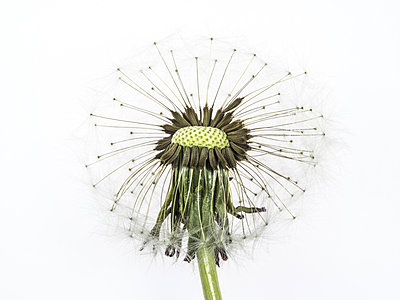 Dandelion Seeds - p401m1203104 by Frank Baquet