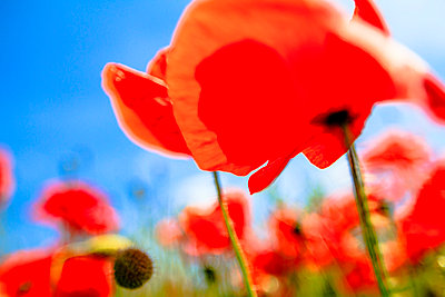 Poppy - p417m815055 by Pat Meise