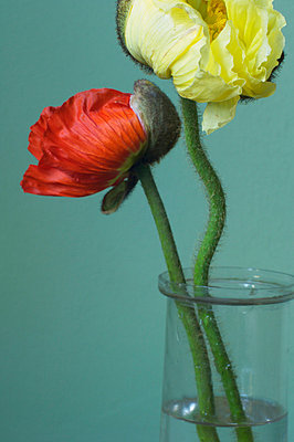 Poppies in a vase - p4730111f by Stock4B