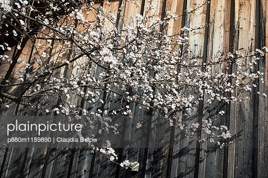 Kirschblüte - p880m1159890 von Claudia Below