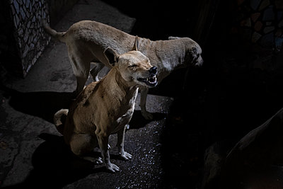 Two dogs at night - p1007m2099056 by Tilby Vattard