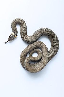 Ringed snake, Natrix natrix - p1437m2052855 by Achim Bunz