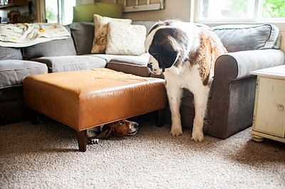 Playful smaller dog hiding from bigger dog under footstool indoors - p1166m2146814 by Cavan Images