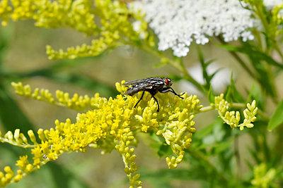 Fliege auf gelbe Pflanze - p1210m2110987 von Ono Ludwig