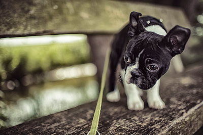 Germany, Rhineland-Palatinate, Boston Terrier, Puppy standing on bench with dog lead - p300m950030f by Nailia Schwarz