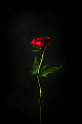 Red rose flower against black background - p919m2195644 by Beowulf Sheehan