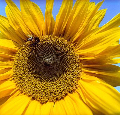 Sonnenblume - p2200160 von Kai Jabs
