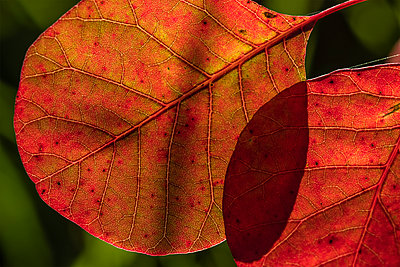 Smoketree leaves glow with sunlight; Astoria, Oregon, United States of America - p442m2074073 by Robert L. Potts